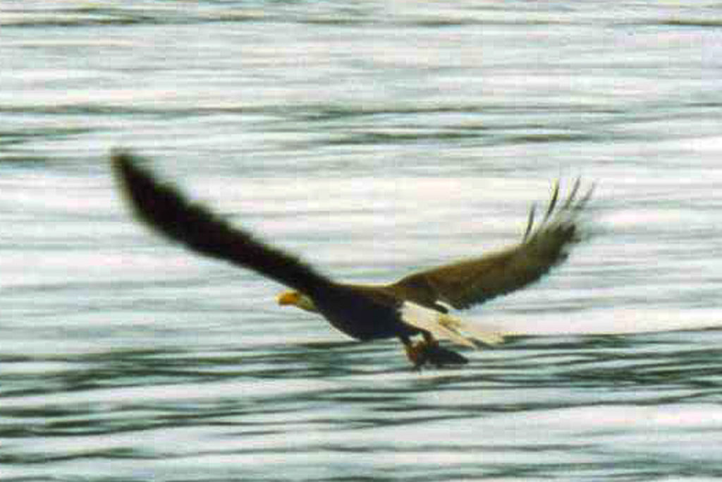 Image of bald headed eagle taking flight
