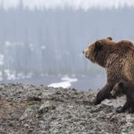 Image of brown bear with cubs walking in alaska