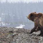 Image of brown bear with cubs walking in alaska