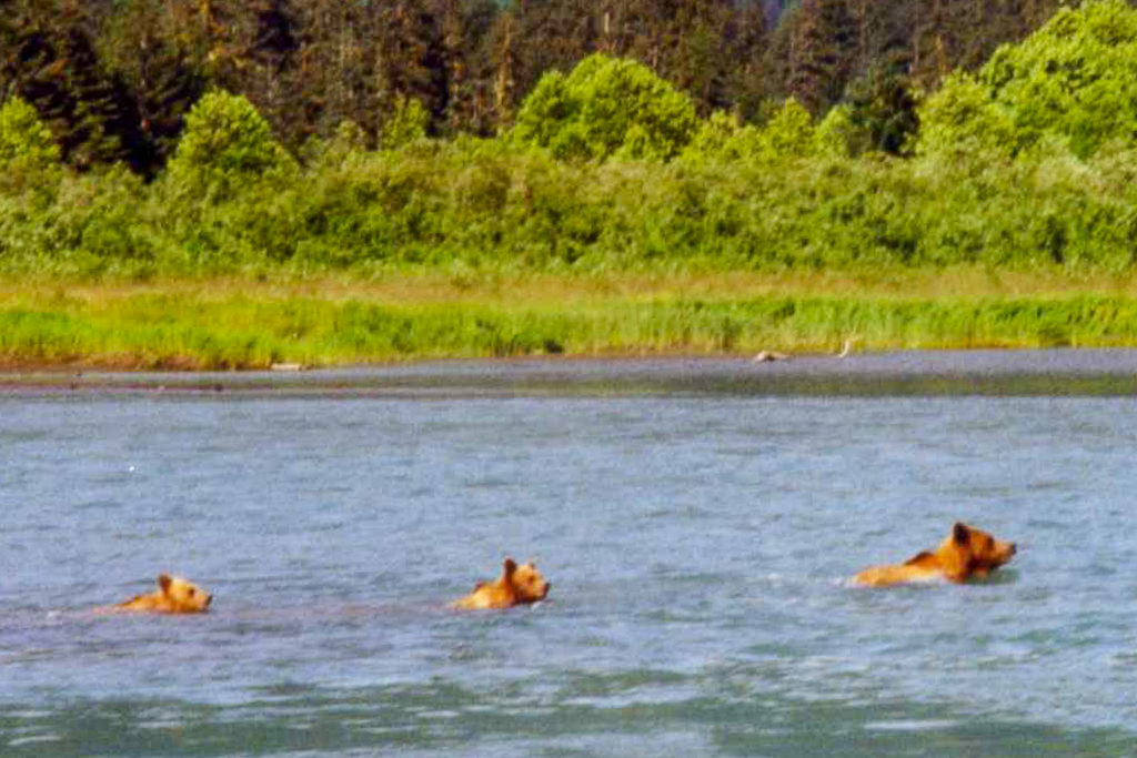 Image of brown bear with cubs in Alaska