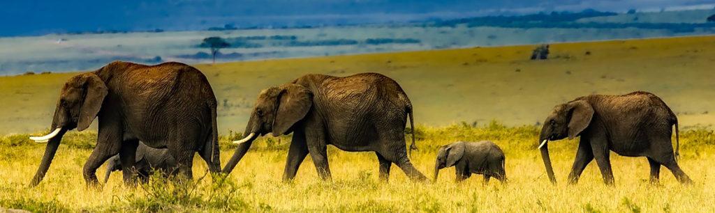 Image of wild elephants walking in a line