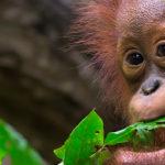 image of baby orang-utan