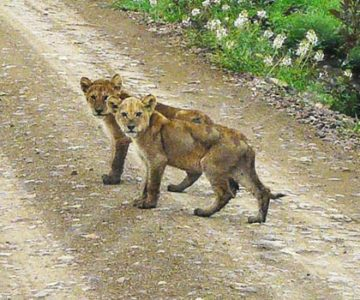 Image of Lion Cubs in Tanzania