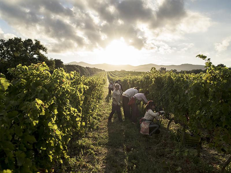 Image of Ornellaia Vineyards, Tuscany
