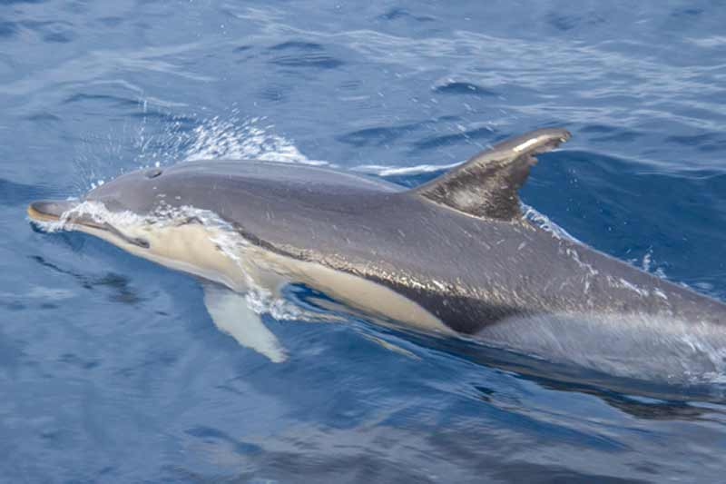 Image of Common Dolphin off Faial Island