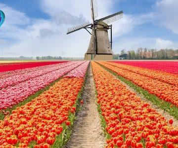 flower fields in holland