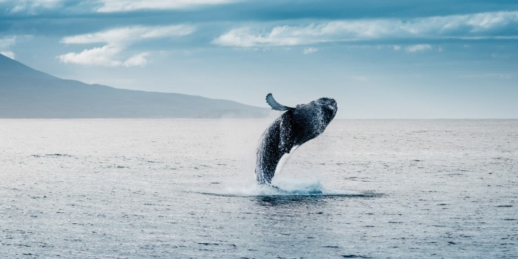 Humpback whale jumping during whale watching in Iceland